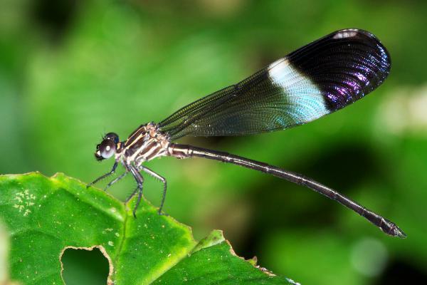 Polythore picta mâle