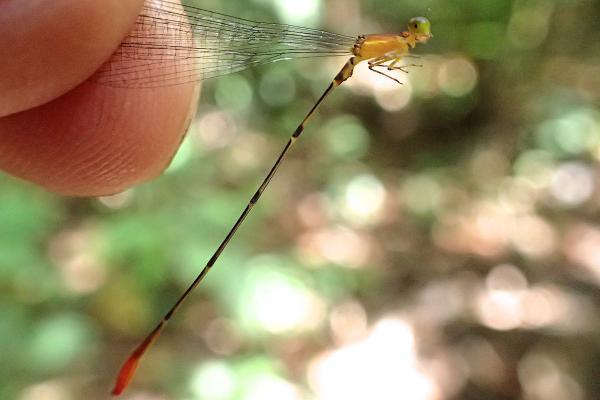 Psaironeura tenuissima mâle