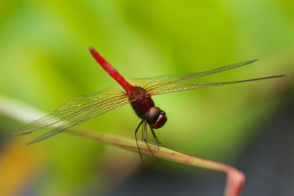 Tauriphila argo mâle