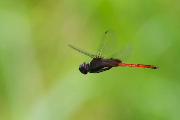 Tauriphila australis mâle