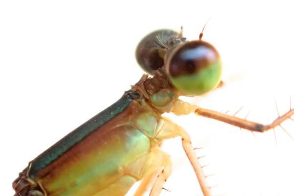 Telebasis abuna femelle
