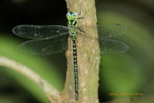 Triacanthagyna ditzleri mâle