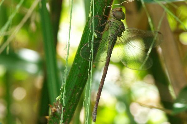 Triacanthagyna septima femelle