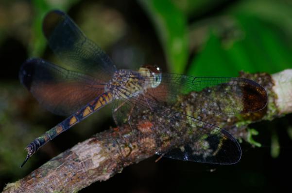 Uracis ovipositrix femelle