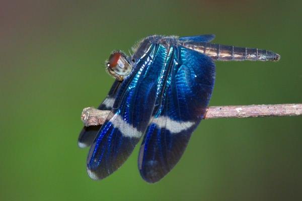 Zenithoptera fasciata Zenithoptera fasciata