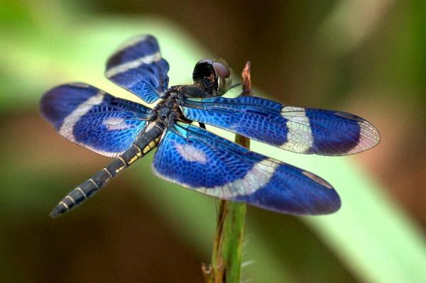 Zenithoptera viola mâle