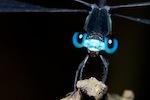 Oxystigma cyanofrons