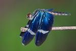 Zenithoptera fasciata