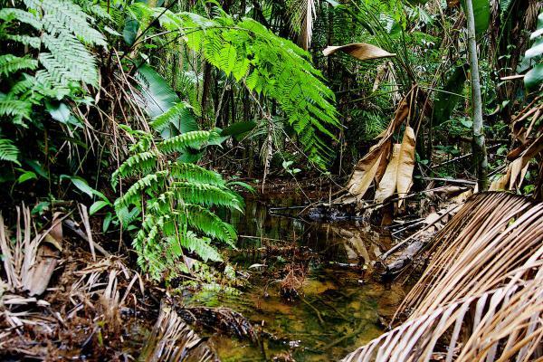 Un ruisseau dans une pinotière.